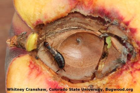 European Earwig on Apricot
