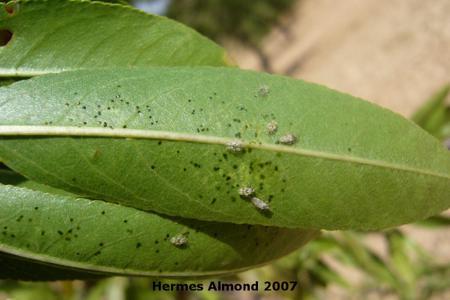 Poplar Lace Bug on Almond