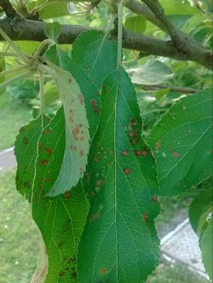 Gall Mite on Pear