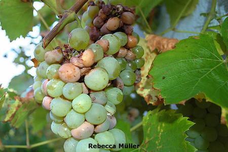 Grape Bud Moth on Grape