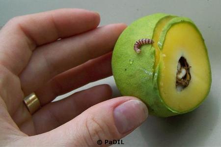 Mango Seed Borer on Mango