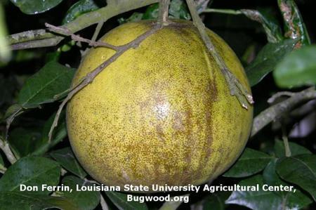 Melanose on Citrus