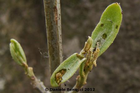 Olive Moth on Olive