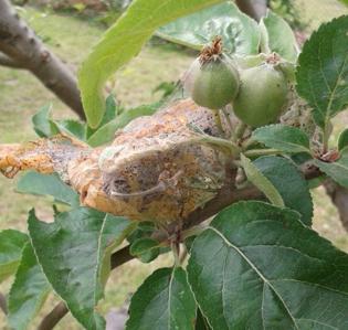 Ermine Moth on Apple