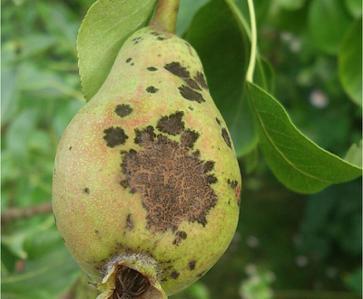 Pear Scab on Pear
