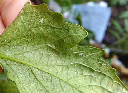 Thrips on Additional