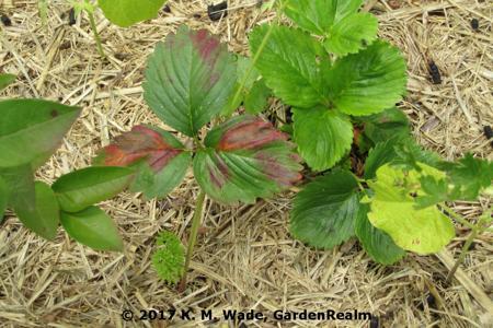 Phosphorus Deficiency on Strawberry