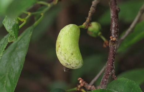 Pocket Plum Gall on Cherry