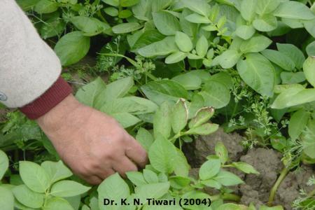 Potassium Deficiency in Potato on Potato