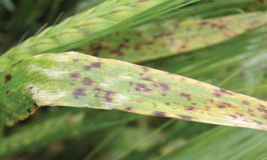 Ramularia Leaf Spot on Barley