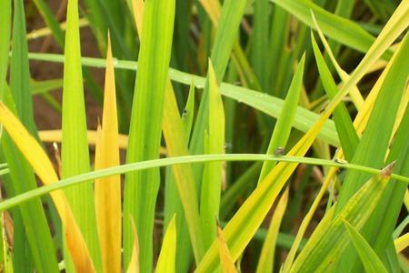 Tungro on Rice