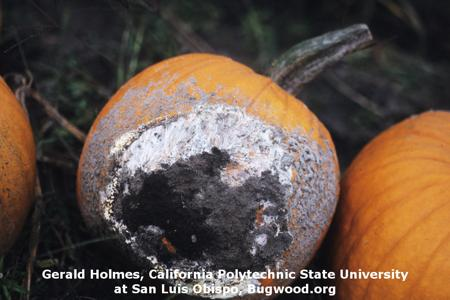 Sclerotium Rot on Pumpkin