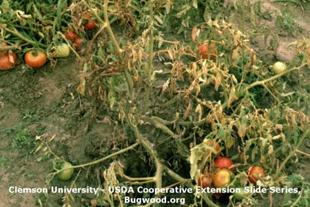 Sclerotium Rot on Tomato