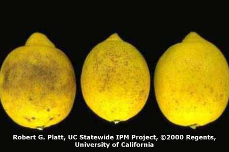 Septoria Spot on Citrus