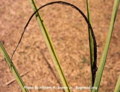 Smut of Sugarcane on Sugarcane