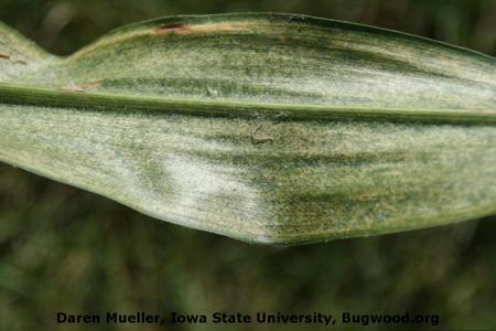 Spider Mite on Maize