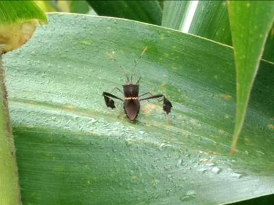 Stink Bugs on Corn, Millet & Sorghum on Millet
