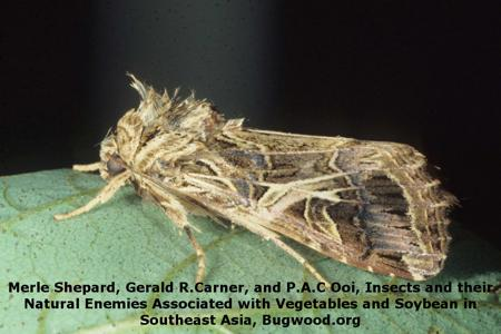 Tobacco Cutworm on Gram