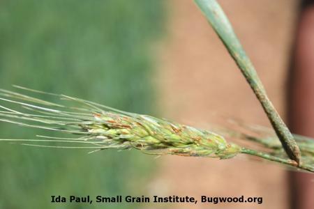 Wheat Stem Rust on Wheat