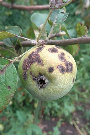 Apple Scab | Plant Disease Library