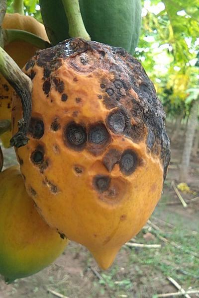 - Papaya