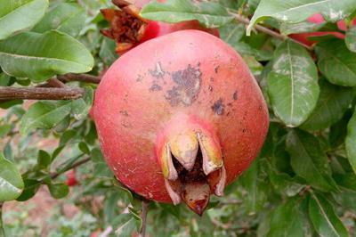 - Pomegranate
