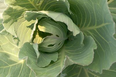 - Cabbage