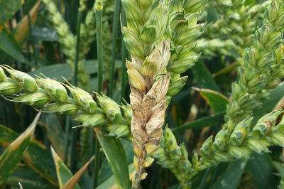 - Wheat