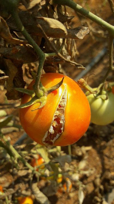 - Tomato