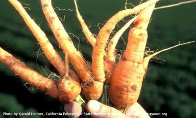 - Carrot