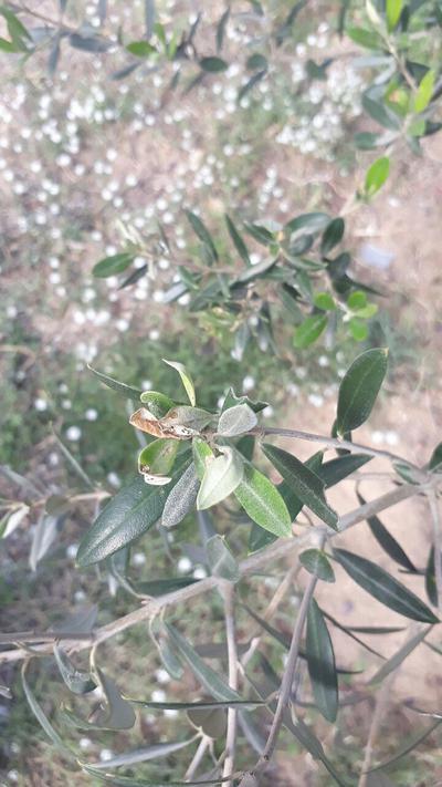 - Olive