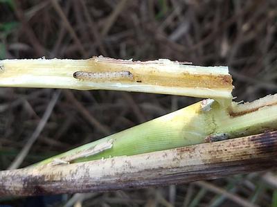 - Sugarcane