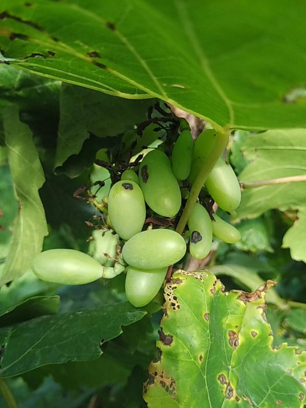 Anthracnose of Grape - Grape