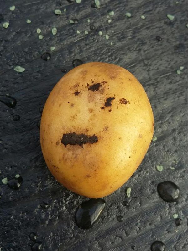 Wurzeltöterkrankheit - Potato