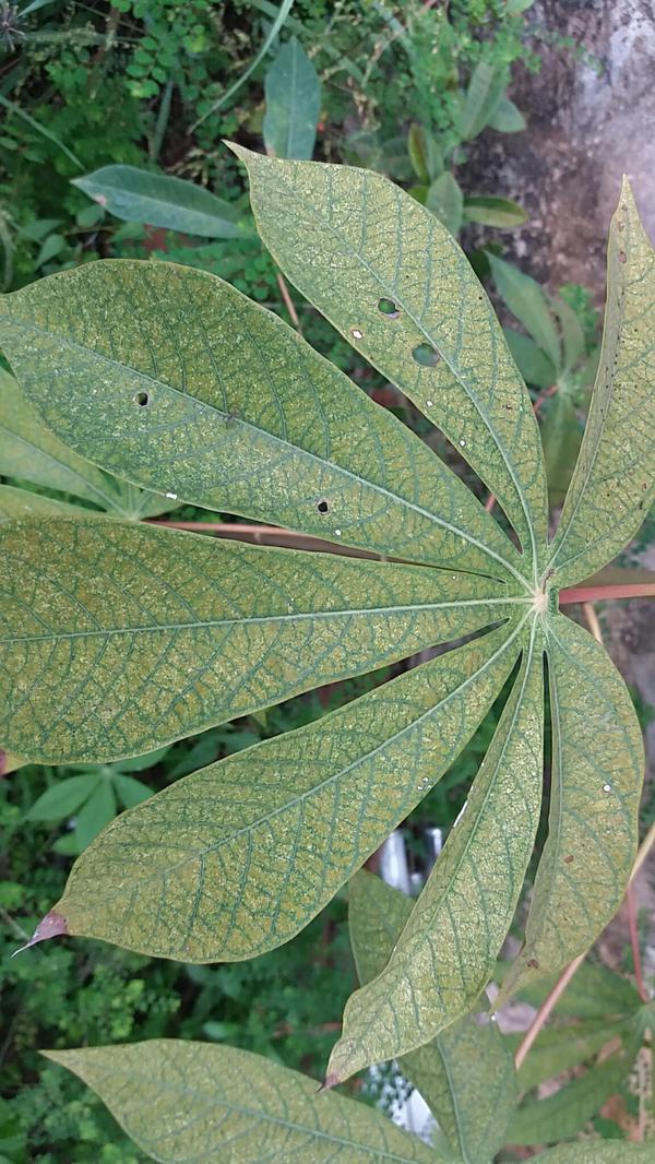 Ácaro Verde de la Yuca - Yuca