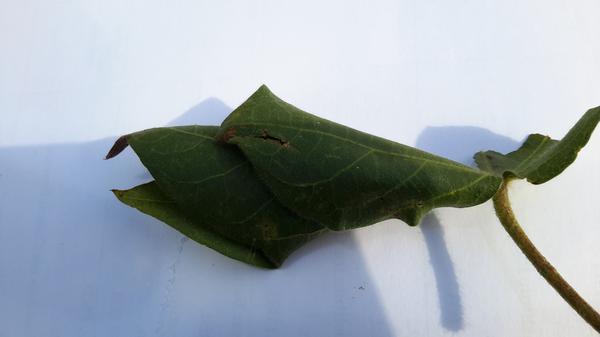 کپاس کے پتوں کو موڑنے والا کیڑا - کپاس