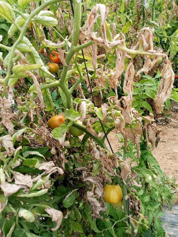 Fusarium Welke - Tomato