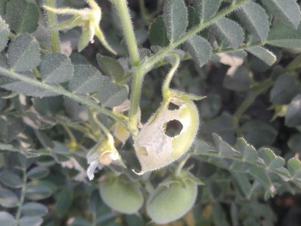Helicoverpa Caterpillar - Chickpea & Gram