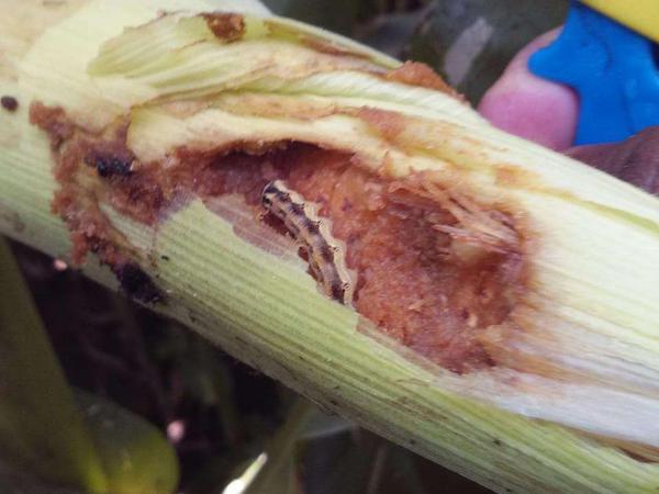 Helicoverpa Caterpillar - Maize