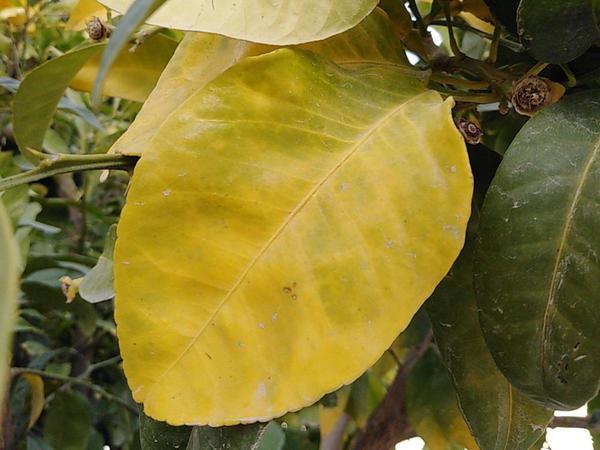 Stickstoffmangel - Citrus