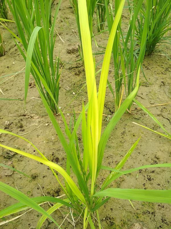 Nitrogen Deficiency - Rice