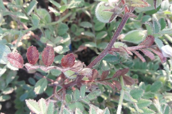 Phosphorus Deficiency - Chickpea & Gram