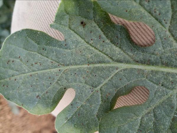 Spider Mites - Melon