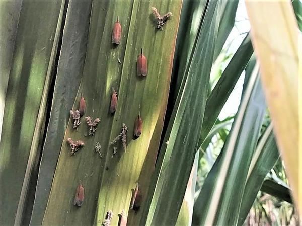 Sugarcane Pyrilla - Sugarcane